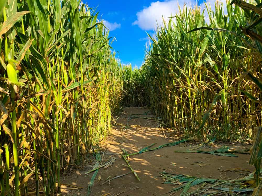 Dirt path surrounded by corn stalks, best corn mazes in rhode island