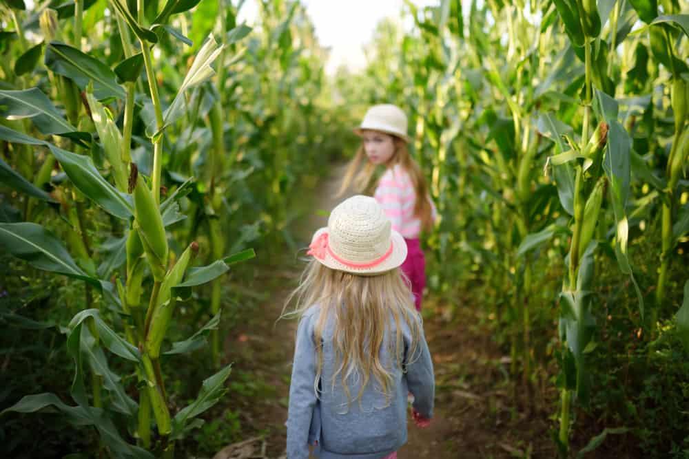children walking through a corn maze