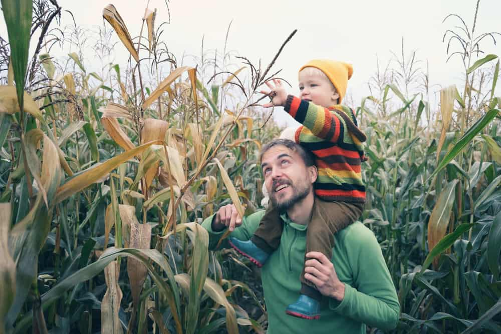 Son sitting on father's shoulders in a corn maze