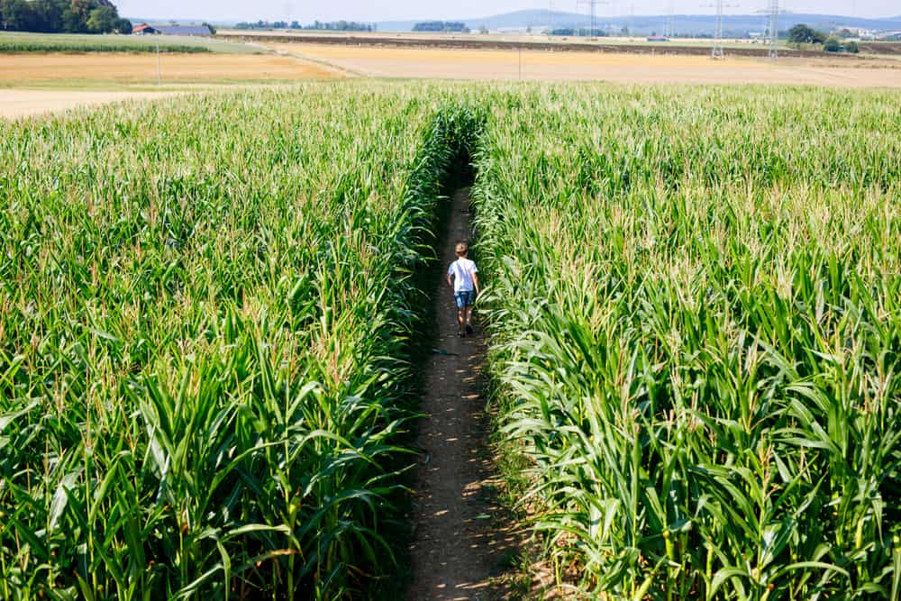 Aerial view of a child walking in a corn maze, corn mazes in connecticut