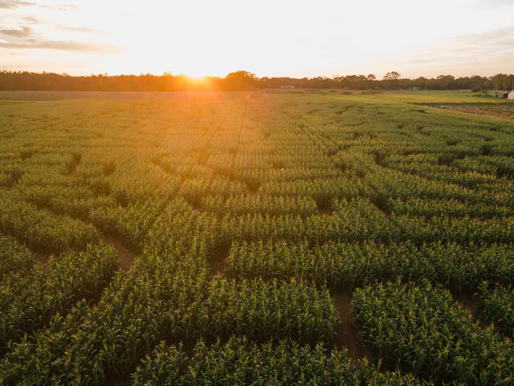Aerial view of a corn maze at sunset