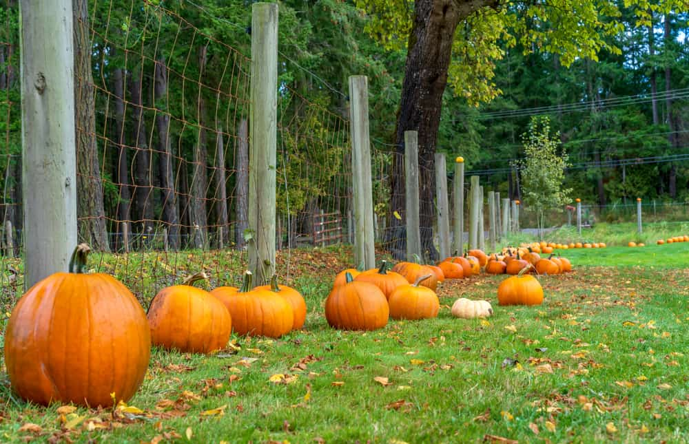 Pumpkins lined up against a fence
