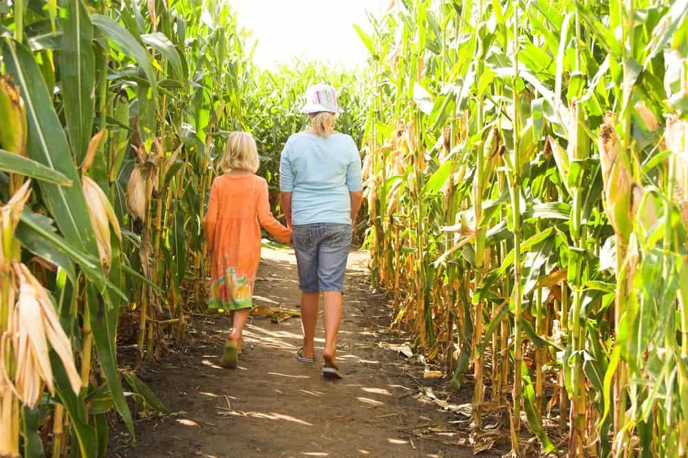 Two children walking in a corn maze