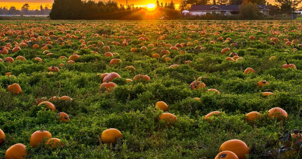 Patch of pumpkins in a field, pumpkin patches in Connecticut