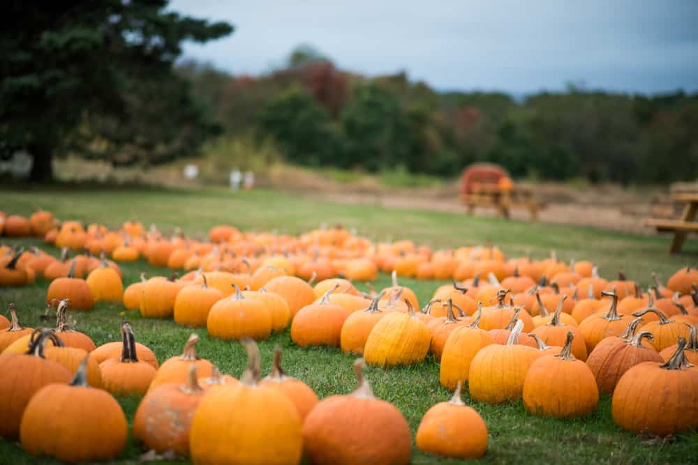 pumpkins lined up in the grass