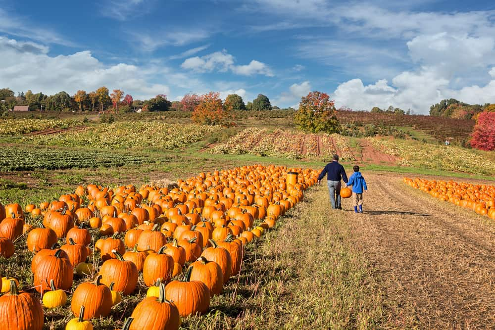 father and son walking in a pumpkin patch