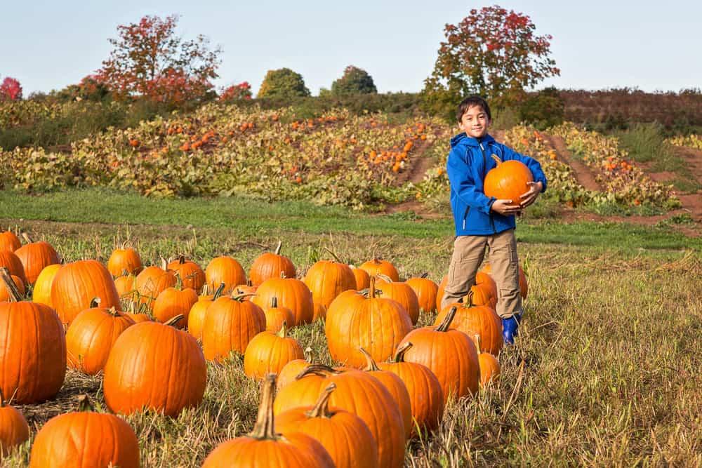 Kid picking out a pumpkin