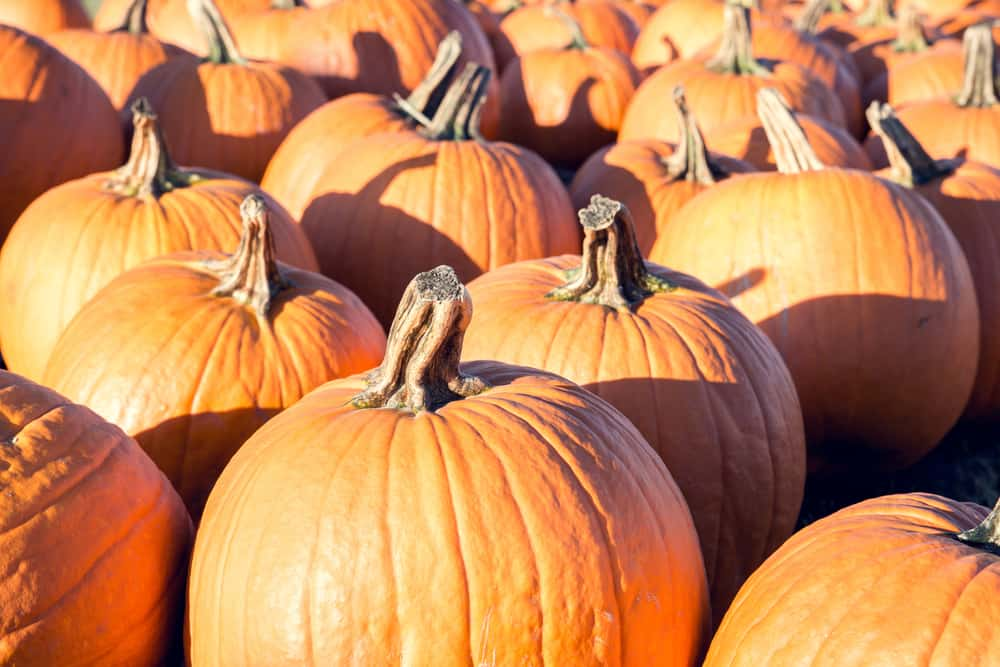 A bunch of pumpkins