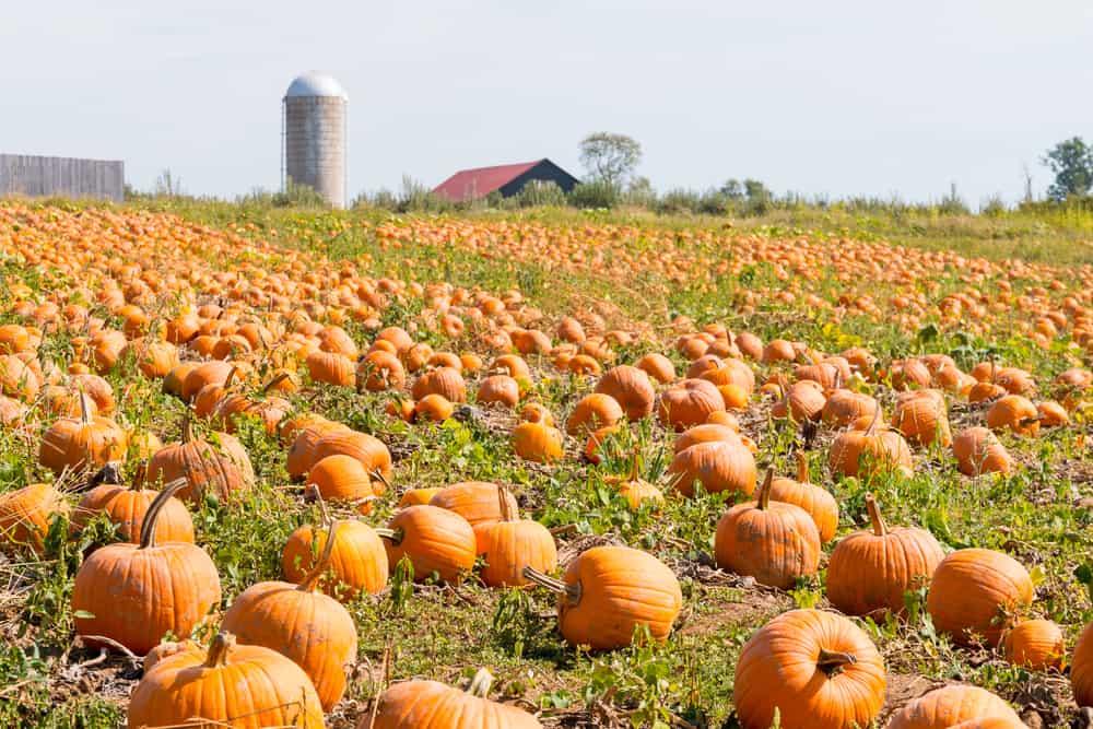 Huge pumpkin patch next to a silo