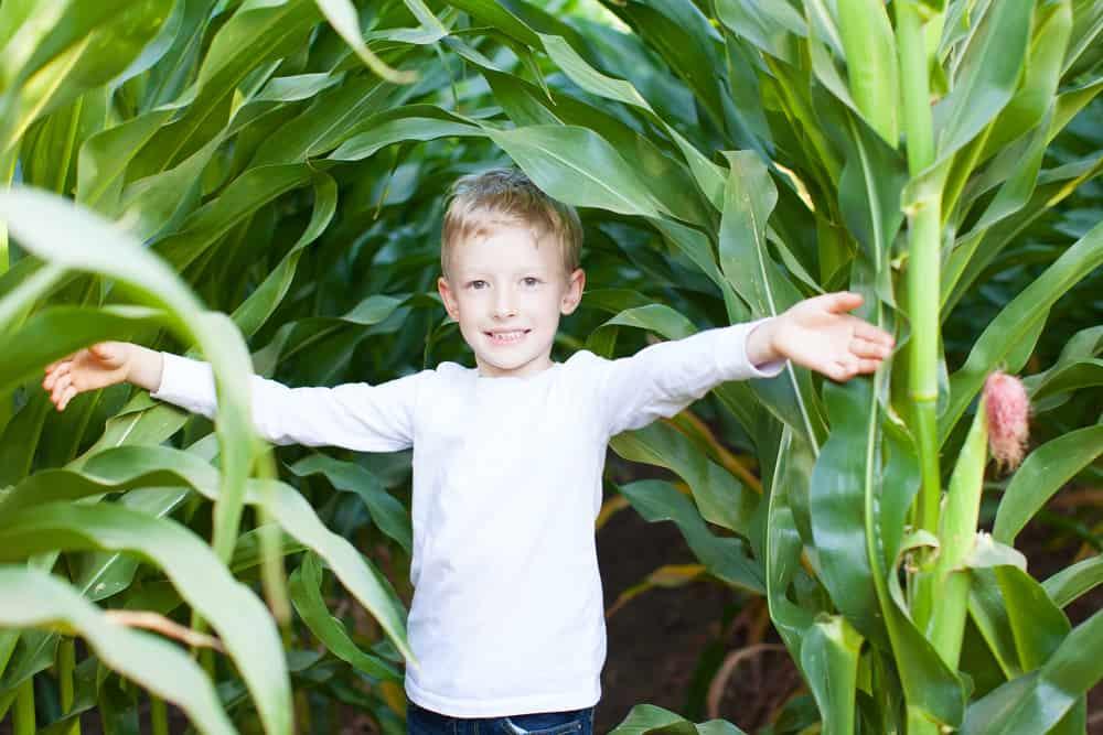 Boy having fun in a corn maze