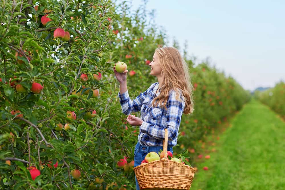 Girl picking apples while holding a basket