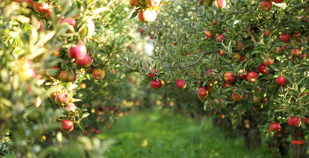 orchard of apples and greenery