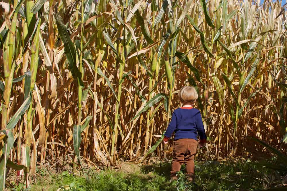 Child standing in a corn maze