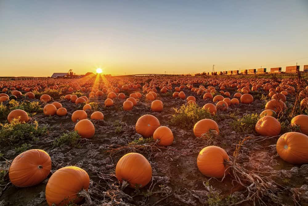 Pumpkins in a patch at sunset