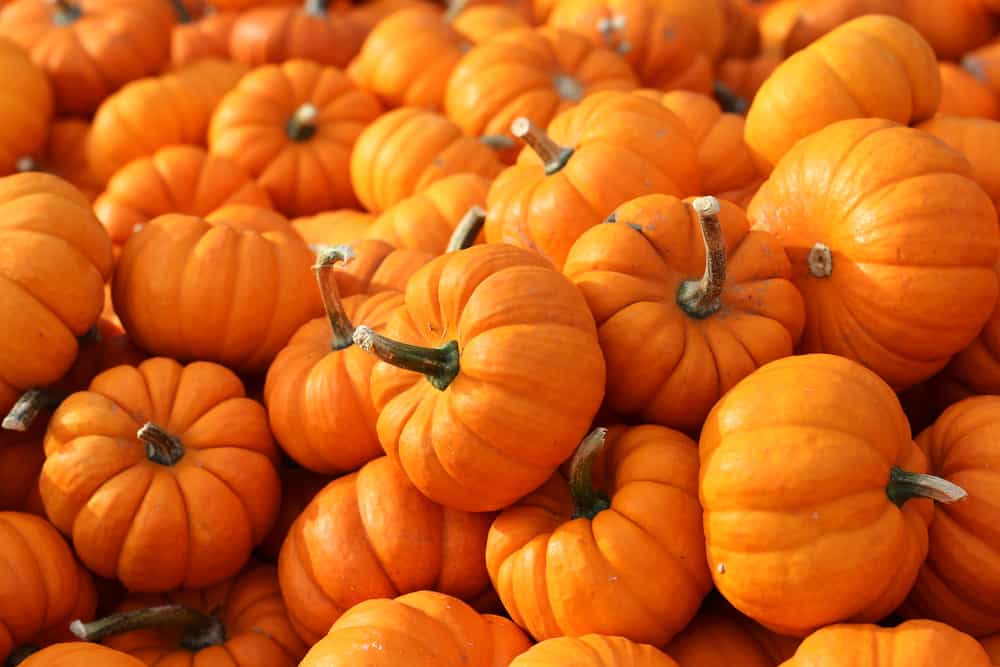 tons of pumpkins in a pile