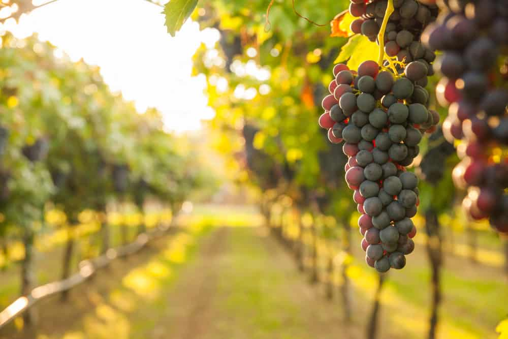 Grapes up close in a vineyard