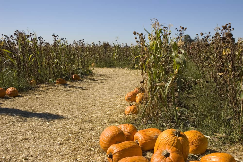 Hay-filled path in a corn maze with pumpkins