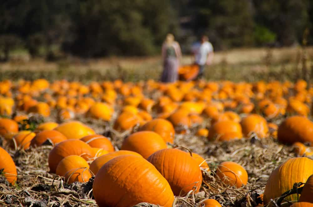 patch of pumpkins with people in the background