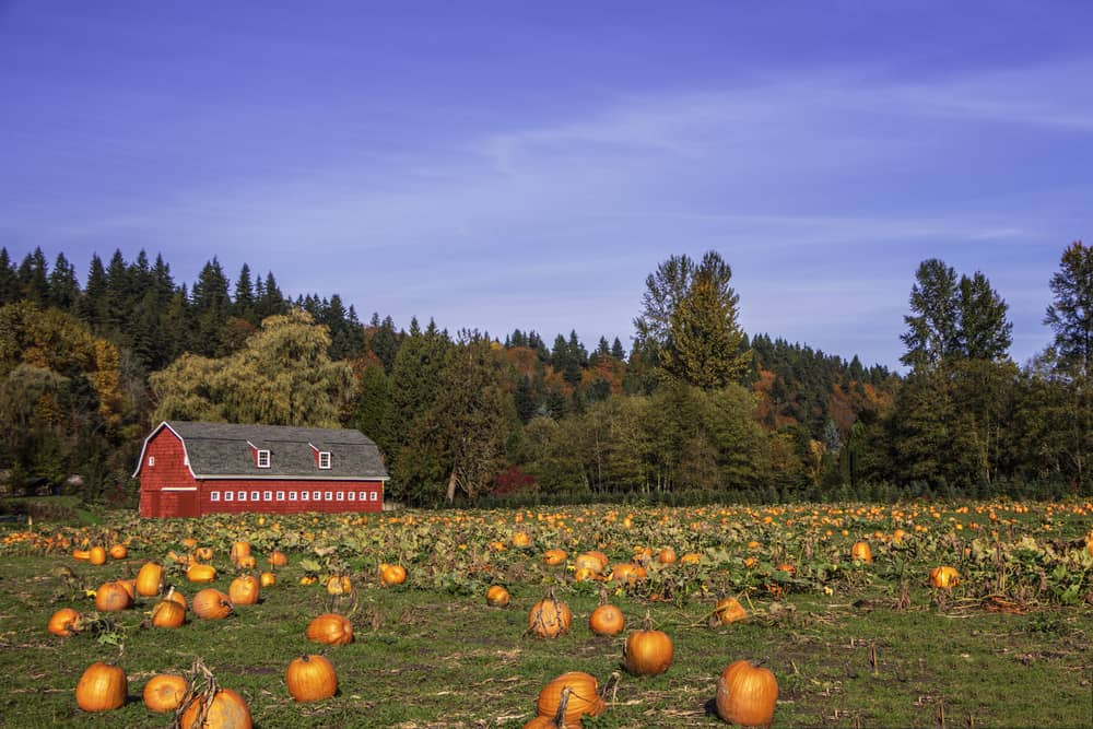 Pumpkin patch next to a red barn
