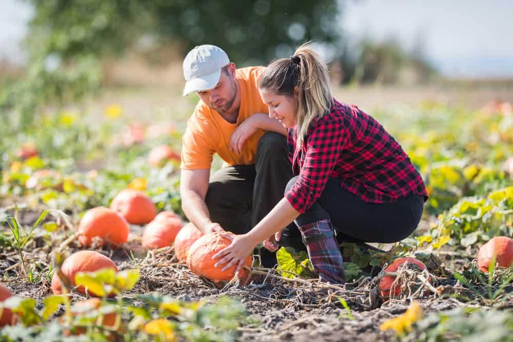 A couple looks at a pumpkin in a pumpkin pathc