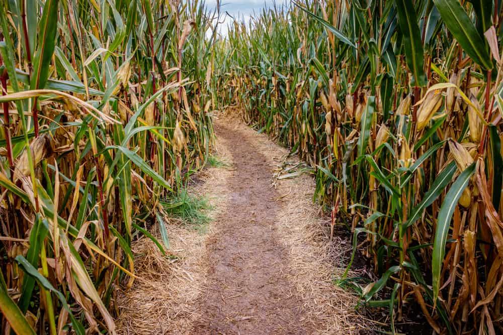 Empty corn maze with a dirt path