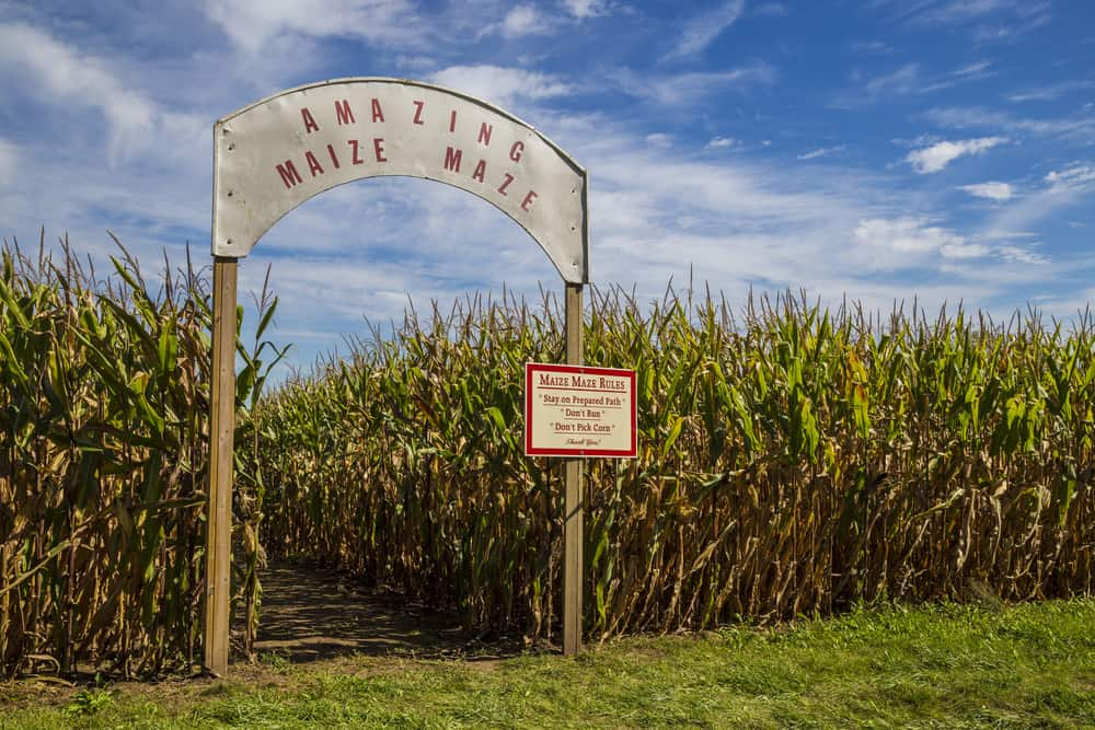 Entrance to a corn maze with a sign that says amazing maize maze