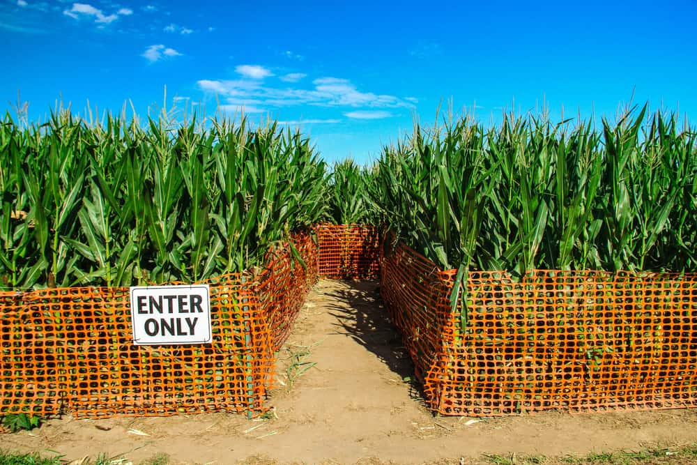 """Corn maze entrance with a sign that says """"enter only"""", best corn mazes in massachusetts"""