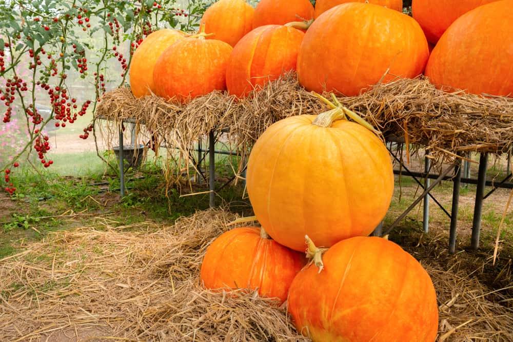 Pumpkins piled up in hay