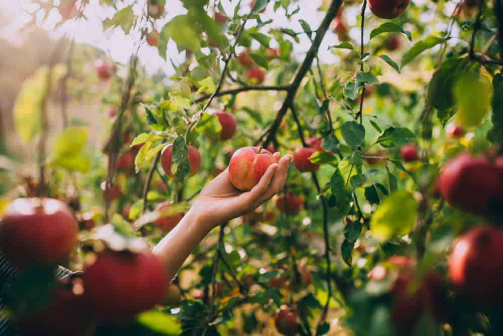 Person picking an apple in an orchard