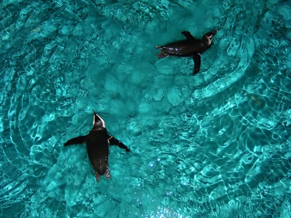 Penguins swimming in the water